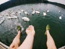 El hombre se retrasa los cisnes de alimentación por encima de la superficie fotografía de archivo libre de regalías