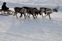 El hombre sledging con los ciervos en la pista nevosa del campo imágenes de archivo libres de regalías