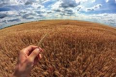 El hombre sostiene las espigas de trigo en su mano Un trigo del campo en el fondo Imagen de archivo libre de regalías