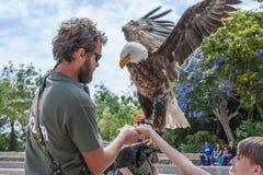 El hombre y el muchacho feding un águila Fotos de archivo