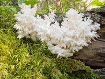 Coral de seta blanco comestible delicioso Hericium Foto de archivo
