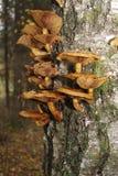 El hongo de miel comestible está creciendo en el abedul Imagen de archivo