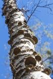 El hongo es un saprofito - un hongo real de la yesca (el Fomes fomenta Imagen de archivo