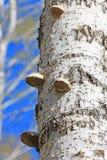 El hongo es un saprofito - un hongo real de la yesca (el Fomes fomenta Fotos de archivo libres de regalías