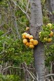 El hongo o pan indio (darwinii de Darwin de Cyttaria) Foto de archivo