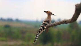 El Hoopoe se sienta en una rama y los arcos que revelan un penacho