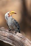 El hornbill amarillo-cargado en cuenta meridional, retrato Foto de archivo libre de regalías
