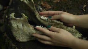 El hueso del maxilar inferior del caballo miente en un tocón en las manos femeninas del bosque que frotan ligeramente el cráneo d almacen de video