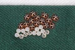 El huevo de Brown marmorated hatchlings del insecto del hedor en el palillo fotos de archivo