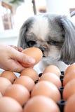 El huevo de observación del perro. Imagen de archivo libre de regalías