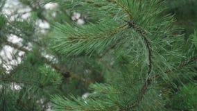 El ` humano s empuja la rama de árbol manualmente de abeto y después de que bajen las gotas de lluvia abajo almacen de metraje de vídeo