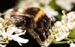 El humildes manosean la abeja Imágenes de archivo libres de regalías