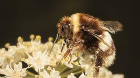El humildes manosean la abeja Foto de archivo