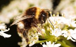 El humildes manosean la abeja Foto de archivo libre de regalías