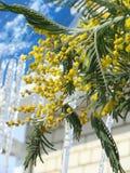 El humor de la primavera crea la plata de la mimosa imagenes de archivo