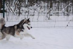 El husky siberiano joven feliz está jugando en el patio, en día de invierno frío, tierra llena de nieve imagen de archivo libre de regalías
