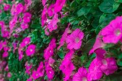 El hybrida de la petunia muchos colores y los colores brillantes se puede utilizar para teñir la tela Imagen de archivo libre de regalías