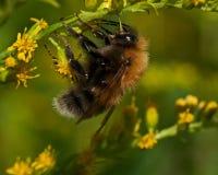 El hypnorum del Bombus del abejorro del árbol Fotos de archivo