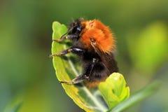 El hypnorum del Bombus del abejorro del árbol Foto de archivo libre de regalías