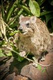 El hyrax de roca se sentó en una roca que comía las hojas Imagen de archivo