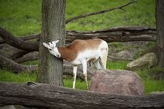 El impala joven rasguña en un árbol foto de archivo libre de regalías