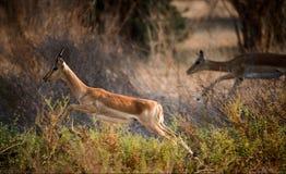El impala se está ejecutando. Fotografía de archivo