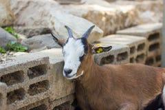 El inclinarse de reclinación de la cabra de montaña contra la pared de ladrillos Imagen de archivo