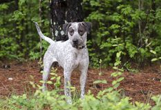 El indicador mezcló el perro de la raza, fotografía de la adopción del rescate del animal doméstico Fotografía de archivo