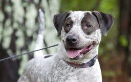 El indicador mezcló el perro de la raza, fotografía de la adopción del rescate del animal doméstico Imagenes de archivo