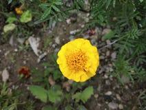 El indio de las flores lo florece es un mismo butifull fotografía de archivo