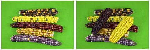 El indio del maíz de las mazorcas de maíz colorea el collage verde del fondo foto de archivo