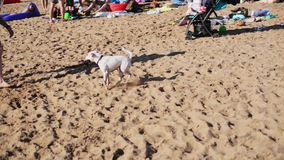 El individuo hermoso activo alegre juega con el pequeño perro blanco en la playa arenosa linda almacen de metraje de vídeo