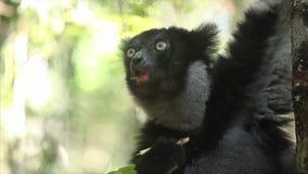 El indri de Indri del lémur de Indri come la hoja almacen de video