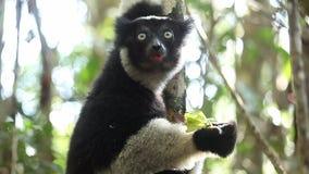 El indri de Indri del lémur de Indri come la hoja metrajes