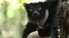 El indri de Indri del lémur de Indri come la hoja almacen de metraje de vídeo
