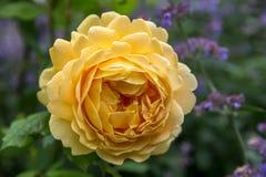 El inglés amarillo floreciente subió en el jardín en un día soleado David Austin Rose Golden Celebration Imagen de archivo libre de regalías