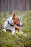 El inglés rojo bull terrier miente en la madera Foto de archivo