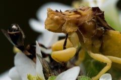 El insecto amarillo de la emboscada come la pequeña abeja en el aster blanco Foto de archivo libre de regalías