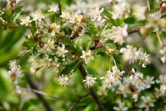 El insecto de la abeja vuela contra un fondo del árbol floreciente Foto de archivo