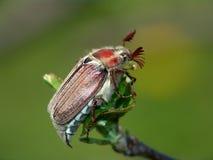 El insecto de la flor del espino. Imagen de archivo libre de regalías