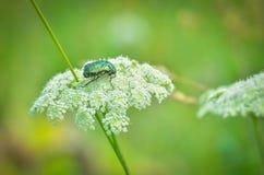 El insecto de la flor del espino Imágenes de archivo libres de regalías