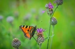 El insecto de la flor del espino Foto de archivo