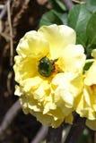 El insecto de la flor del espino se sienta en un té subió Imagenes de archivo
