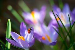 El insecto de la señora en azafrán de la primavera florece, imagen macra con la pequeña profundidad del campo Foto de archivo