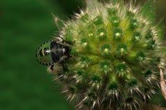 El insecto del escudo se está sentando en una flor del acerico Fotografía de archivo
