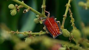 El insecto del hedor se está basando sobre el lanzamiento del longan almacen de video
