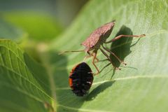 El insecto del hedor toma la mariquita imagen de archivo libre de regalías