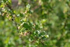 El insecto del jardín se sienta en una rama de una grosella espinosa floreciente en un Sunn Imagen de archivo libre de regalías