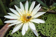 El insecto está bebiendo el jugo del polen del loto Foto de archivo