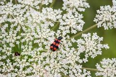 El insecto goza de ascendente cercano de la flor Foto de archivo